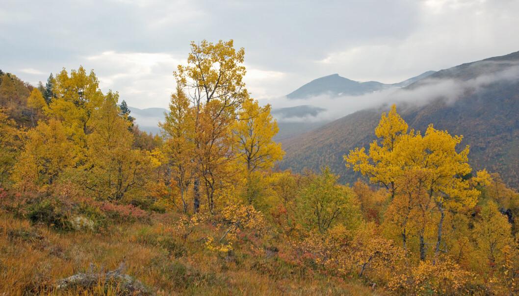 Rett tid for å oppleve høstfarger til fjells. På det fineste nå!