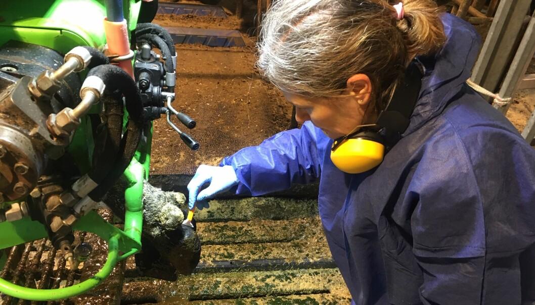 Marianne Gilhuus tar prøver av fem kyr i hver bessetning
