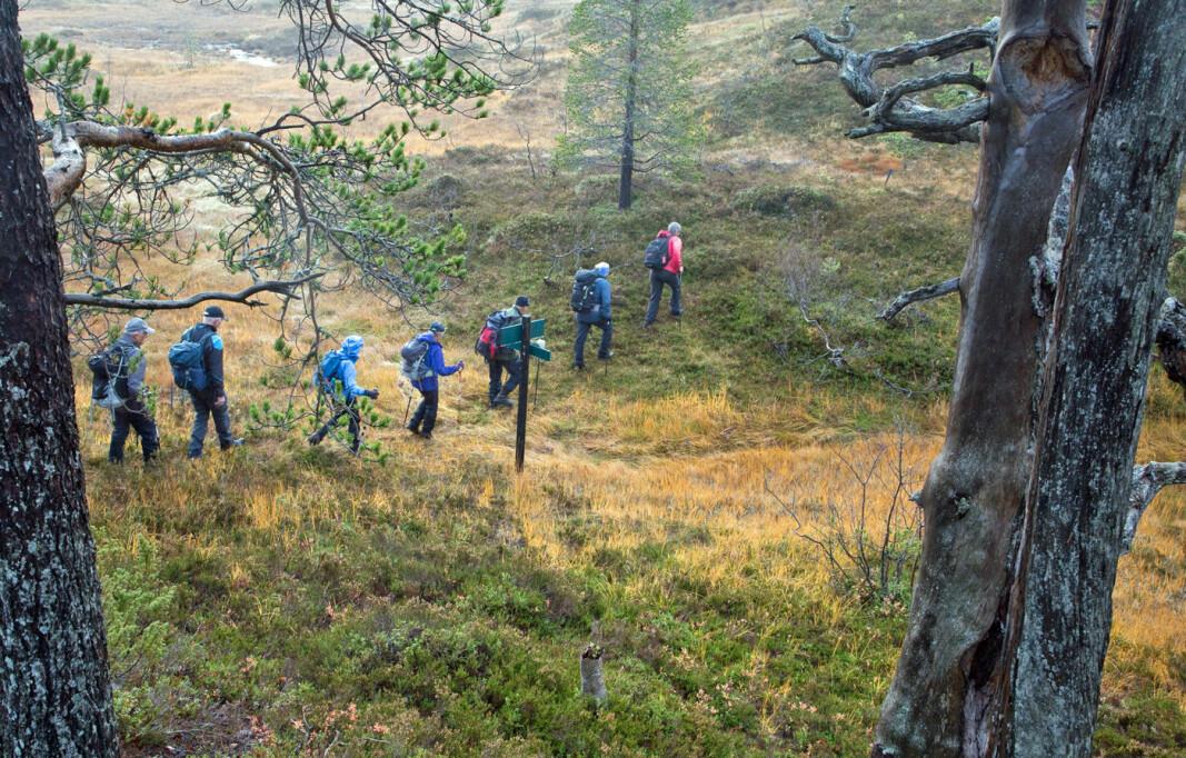 Stien går for det mest på tørre rabber. Mange plasser med gamle furutrær.