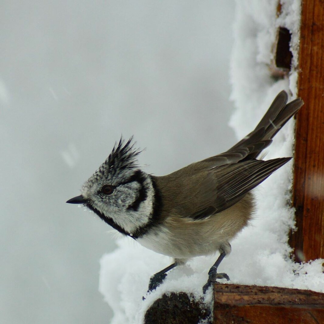 Toppmeis/Crested Tit (Lophophanes cristatus) I snøvær. In snowy weather.