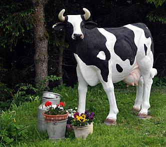 Denne kua fikk oppmerksomhet over hele landet