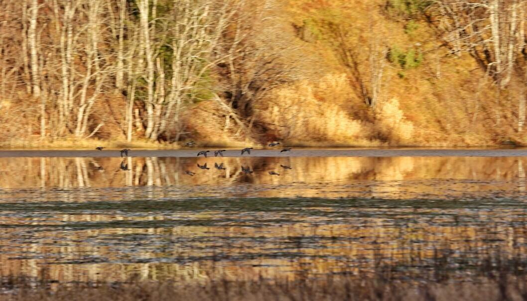 Etter ei stund kom gjessene tilbake til Høgåsvatnet.