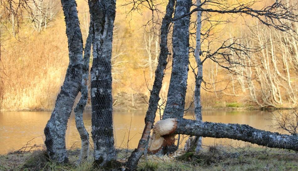 Mellom bjørkene kan du skimte beverhytta på nordsida av Høgåsvatnet.