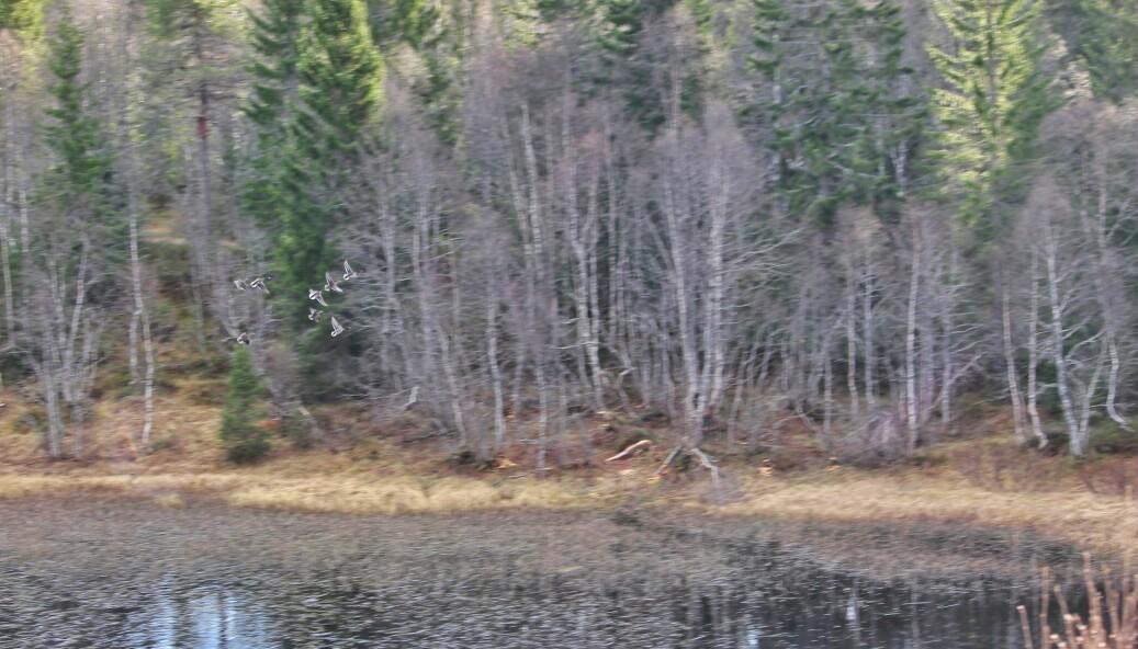 Jeg kan vel ikke forvente å se beveren, når selv gjessene blir skremt av min ankomst. Bildet er tatt fra Rørdalsvegen og du kan skimte litt av innsatsen beveren har lagt ned på sørsida av vatnet.