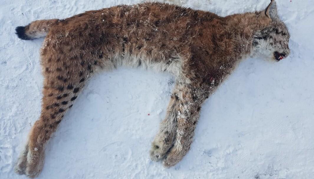 Hunngaupe, 15,7 kg, skutt i Bøfjorden 01.02.21