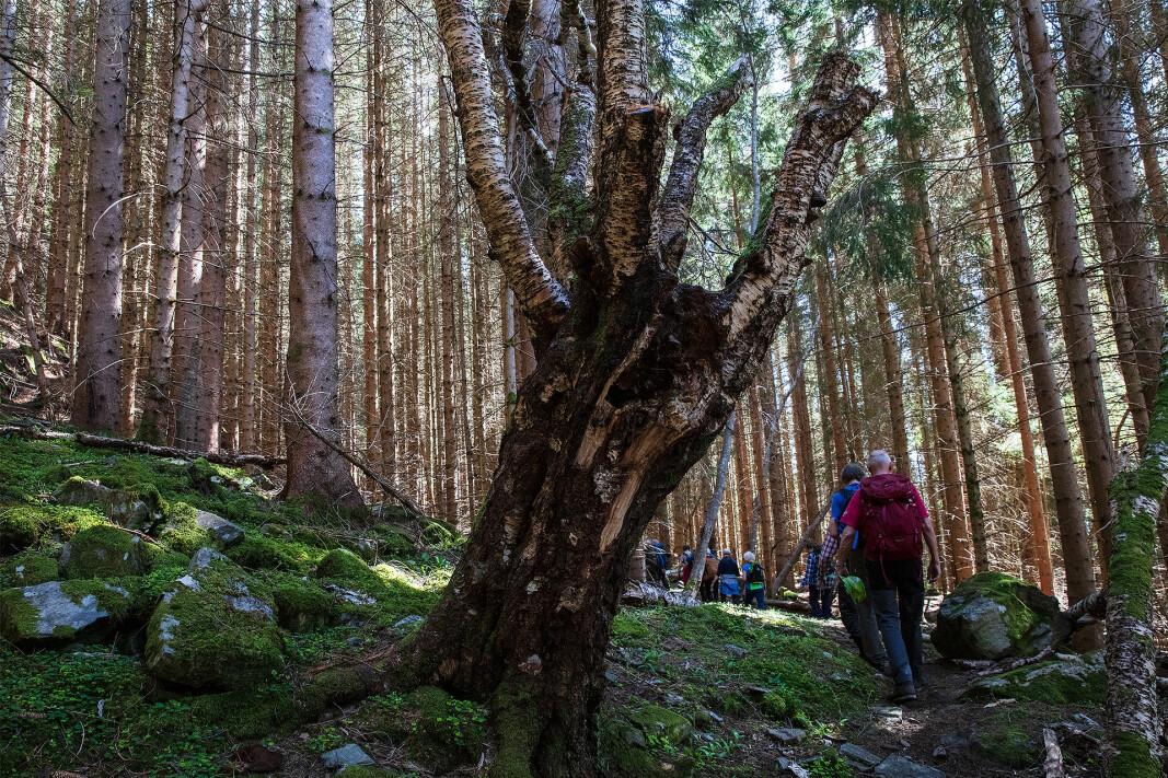 Gjennom frodig og gammel skog.