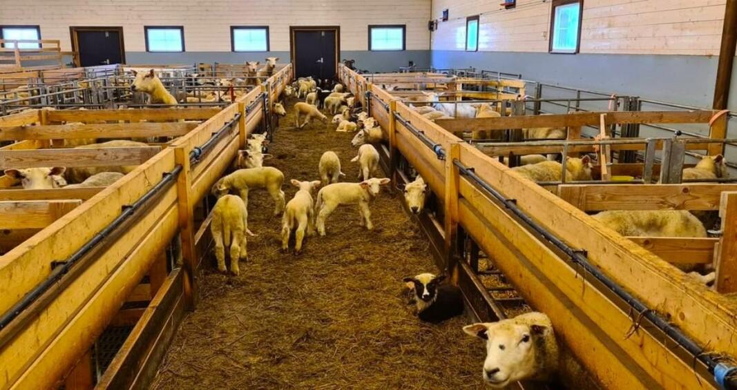 Det går mot vår og utslepping for over 400 sauer og lam frå nabofjøset