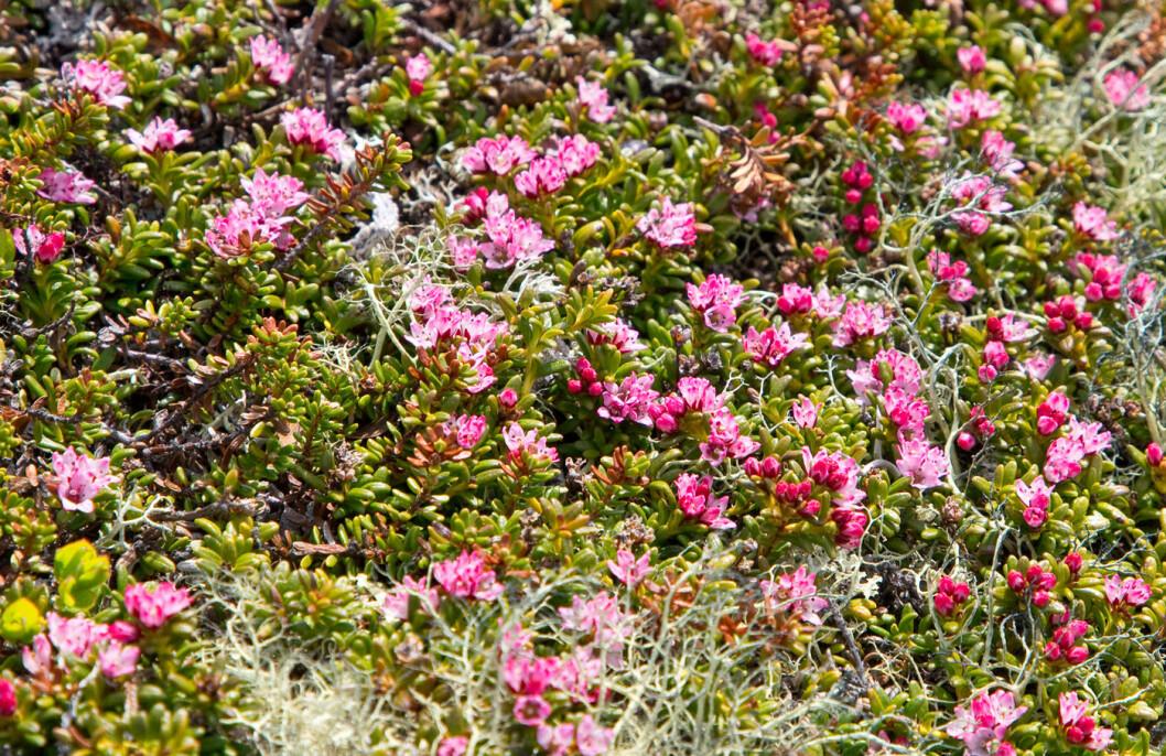Nydelig med greplyng også! Ei fjellplante som dukker opp tidlig om våren.