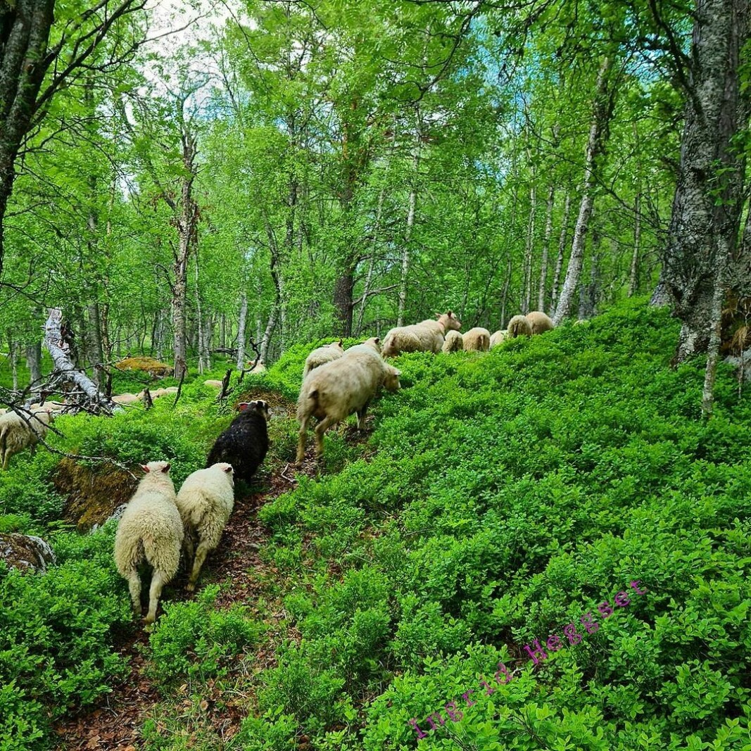 Sommerferie for 🐑🐑🐑. #sau