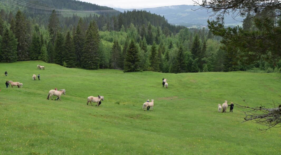 Stort og fint beiteområde i Langlia.