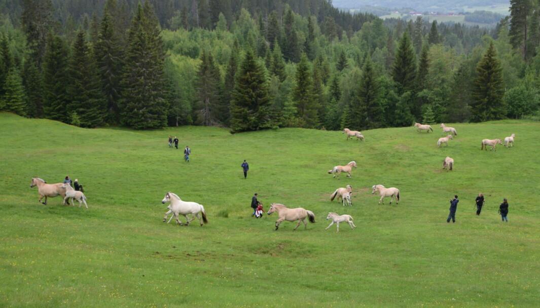 Det blir litt uro i flokken, så de merrene som har føll stikker til skogs med en gang. De beskytter føllene sine.