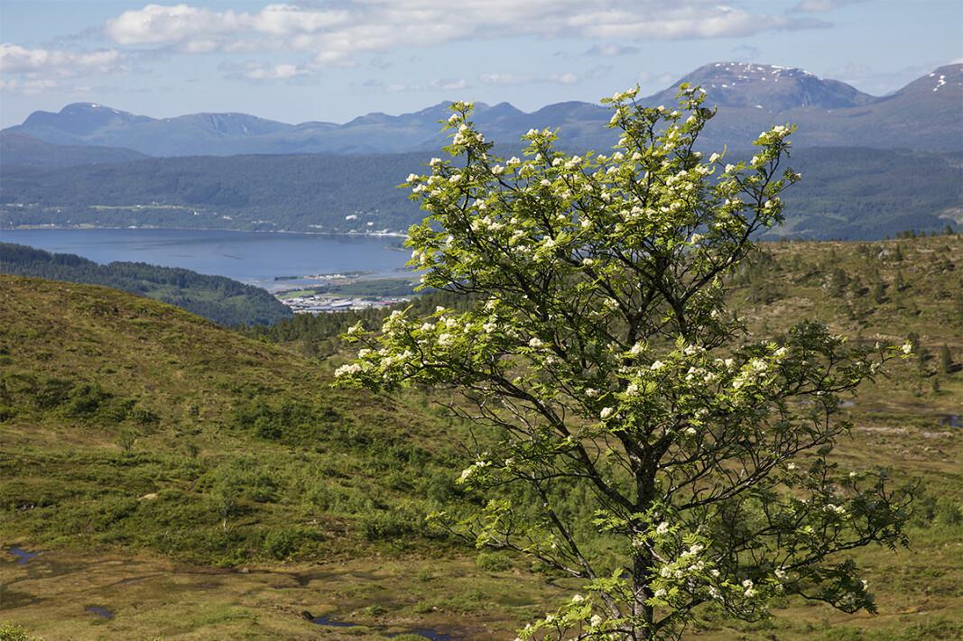 Rogna blomstrar under Svarrafjellet.