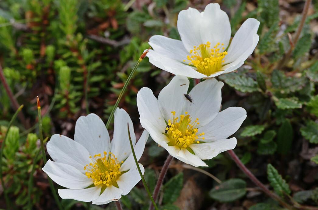 Et bilde av reinrose på malmfeltet får avslutte referatet. Virkelig en nydelig blomst! Juli er jo en perfekt måned for å studere fjellplanter.