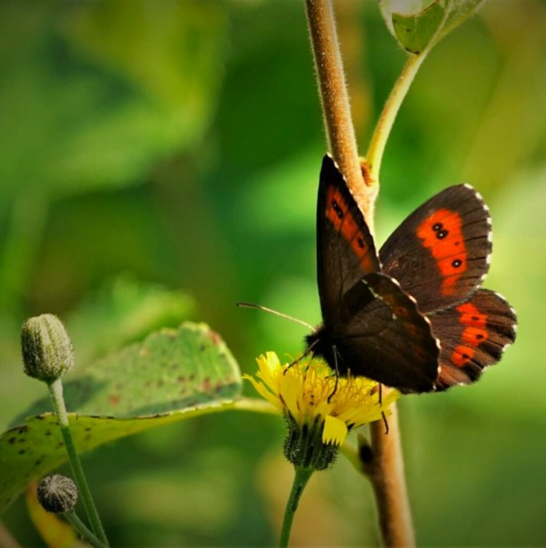 Enda en fin sommerfugl