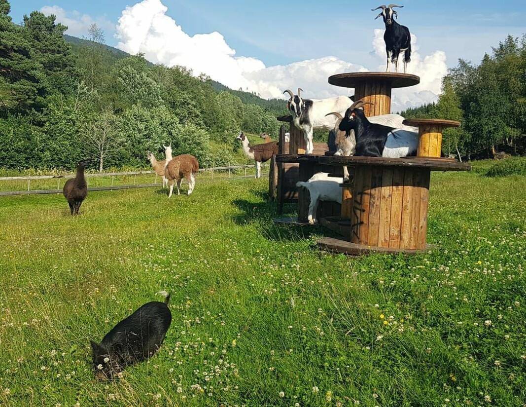 På familedagen i Stangvik kan du kjøpe mat, kjøre eller ri hest, klappe geiter og kaninar - med meir.