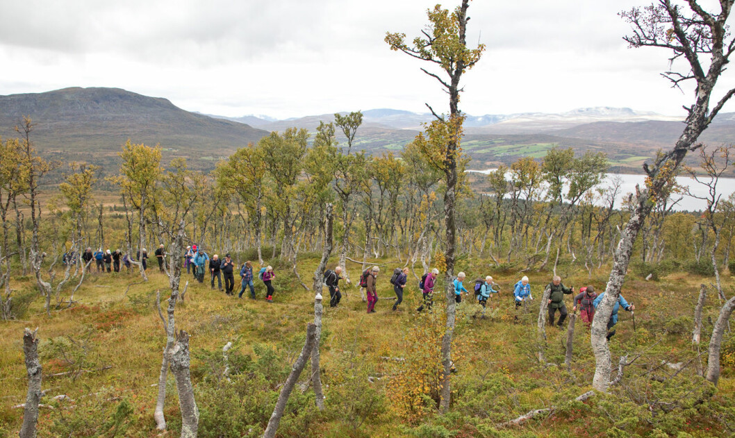 God sti videre oppover ei fin bjørkeli. Ser mot Granasjøen og Nerskogen. Litt av Trollheimen i bakgrunnen.