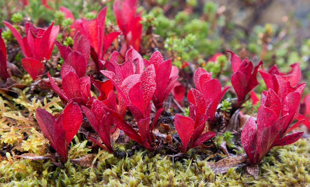 Nydelig farge på rypebærblad! Lyste mot oss så vakkert «over alt».