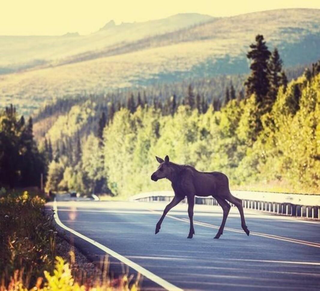 Ryddet sideterreng og godt vedlikeholdte veier kan redusere risikoen for at et møte med hjortevilt får et alvorlig utfall.