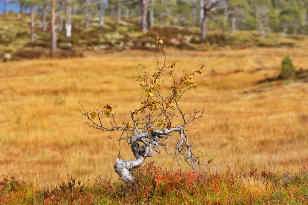 Fjellbjørk i Langlimarka.