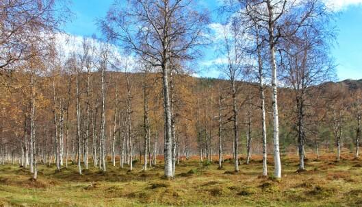 Bjørkeskogen i Vindøldalen.