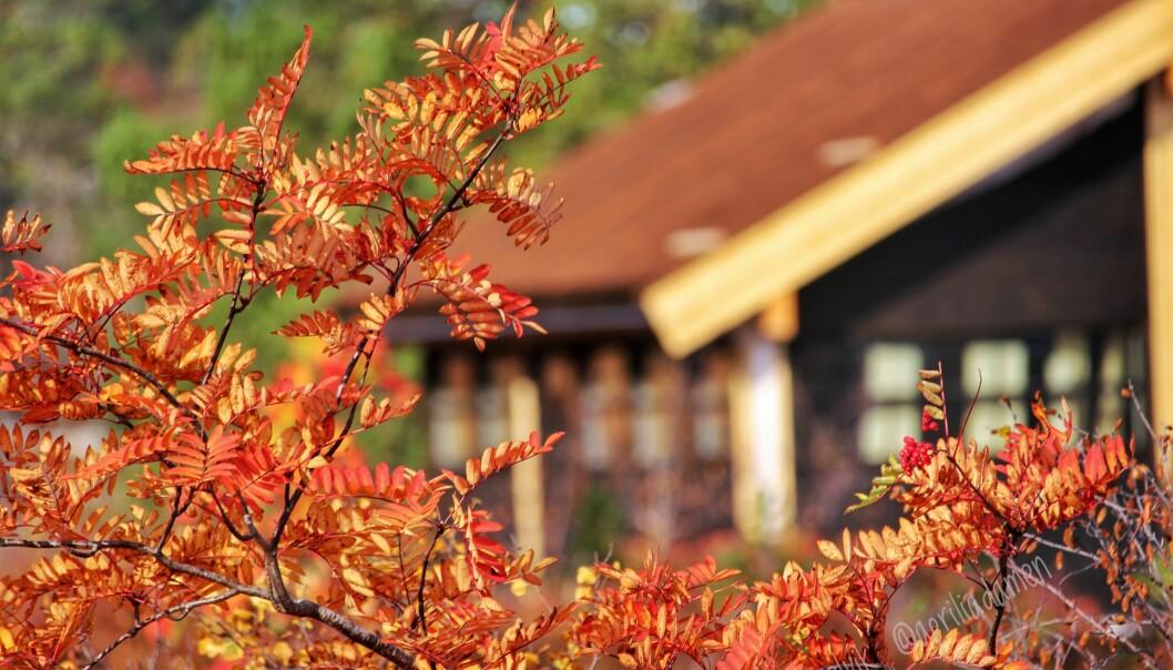 Rogneblad gir herlige høstfarger.