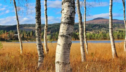 Bjørkeskogen austom Igltjønna.